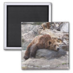 Grizzly Bear Resting On Rock 2 Inch Square Magnet