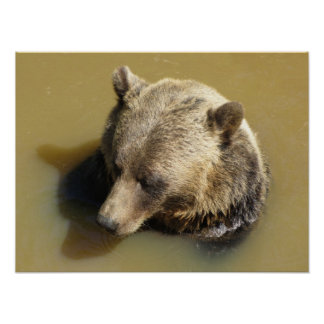 Grizzly Bear Taking a Swim Poster