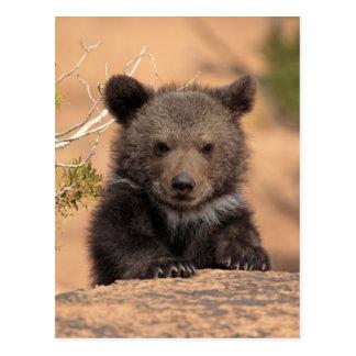 Grizzly bear (Ursus arctos horribilis) Postcard