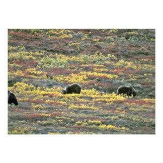 Grizzly bears Denali National Park Alaska Red fl Invitation