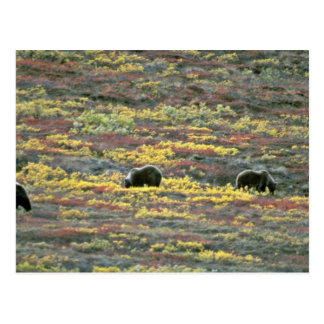 Grizzly bears Denali National Park Alaska Red fl Postcards
