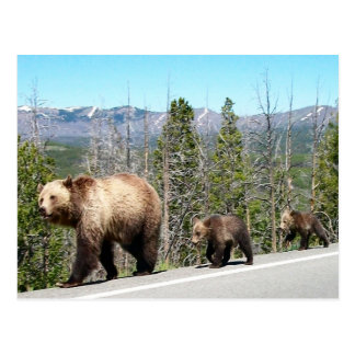 Grizzly Bears of Yellowstone Postcards