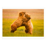 Grizzly Bears Wrestling Post Card