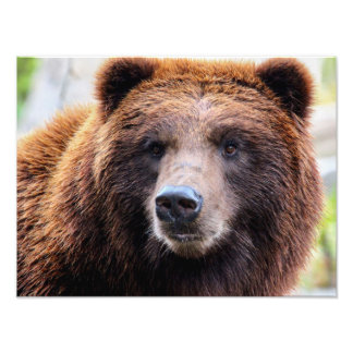 Grizzly Brown Bear Wildlife Photo