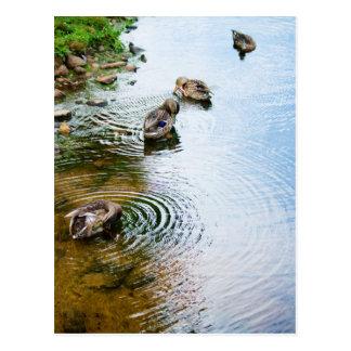 Grooming Ducks 2 Postcard