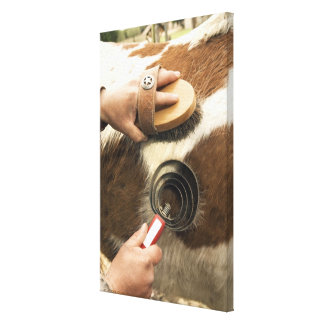 Grooming horse canvas print