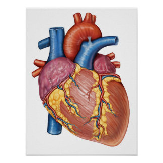 Gross Anatomy Of The Human Heart Poster