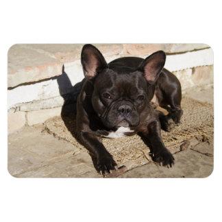 Grouchy French Bulldog Rectangular Photo Magnet