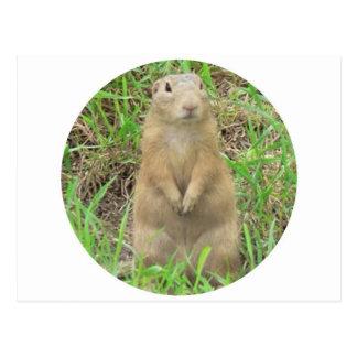 ground squirrel 01 postcard