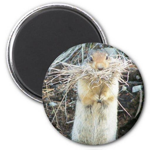 Ground squirrel #2 fridge magnets