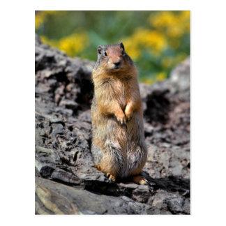 Ground Squirrel Alert for Danger Postcard