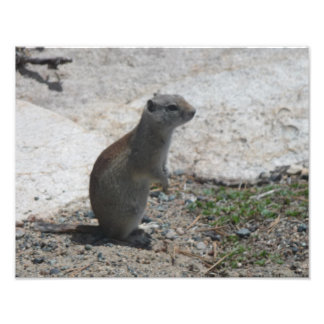 Ground squirrel Photographic Print