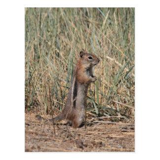 Ground Squirrel Postcard