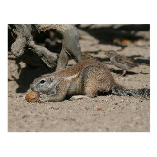 Ground squirrel with walnut postcard