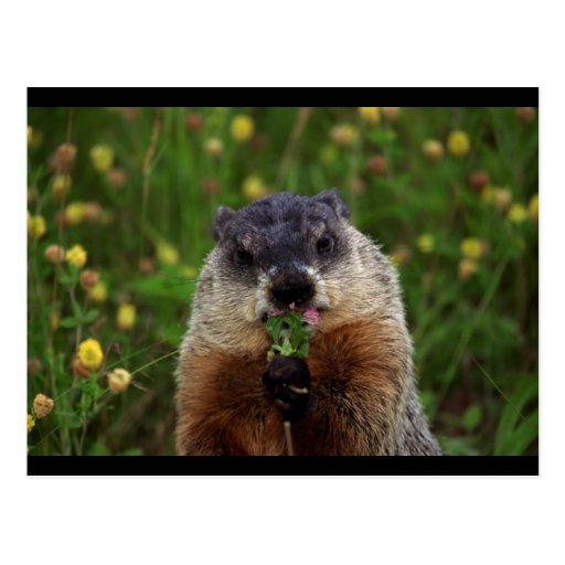 Groundhog con las flores postal