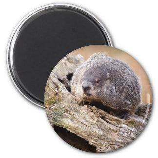 Groundhog Imán Para Frigorifico