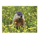 Groundhog Post Card