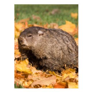 Groundhog Postcard