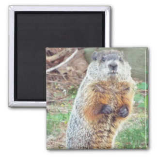 Groundhog spring morning magnet