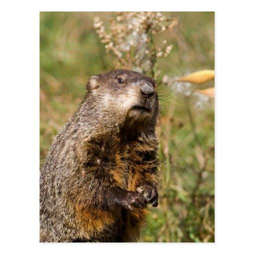 Groundhog Tarjetas Postales