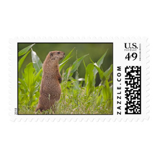 Groundhog Timbres Postales