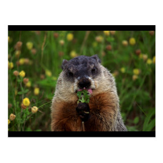 Groundhog With Flowers Postcard