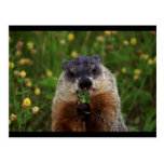 Groundhog With Flowers Postcards