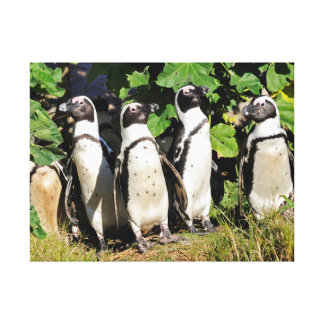 Group of African Penguins Canvas Print