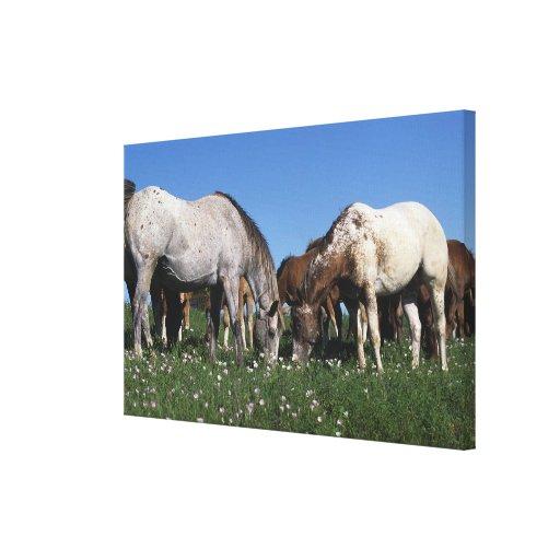 Group of Appaloosa Horses Grazing Canvas Print