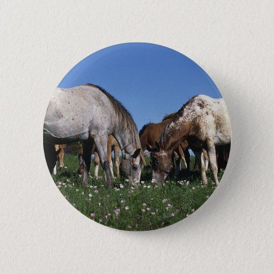 Group of Appaloosa Horses Grazing Pinback Button