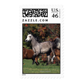Group of Arab Horses Running Postage Stamp