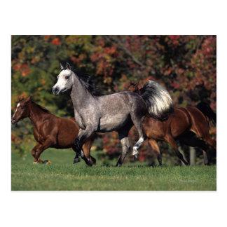 Group of Arab Horses Running Postcard