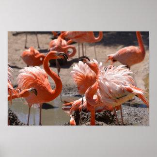Group of Cuba flamingos Poster