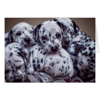 group of Dalmatian puppies Card