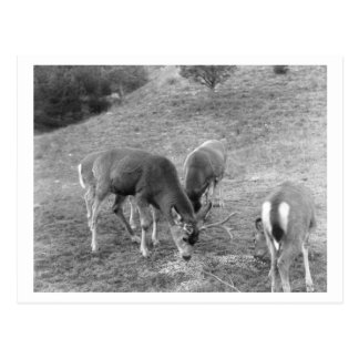 Group of Deer at Hot Springs Photograph Postcard