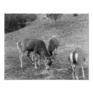 Group of Deer at Hot Springs Photograph Posters