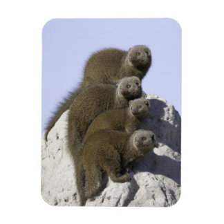 Group of Dwarf Mongoose on a Termite Mound in Magnet