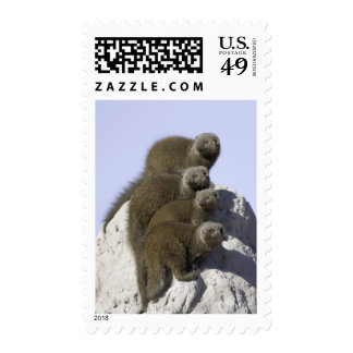 Group of Dwarf Mongoose on a Termite Mound in Postage Stamp