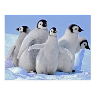 Group of Emperor Penguin Chicks Postcard
