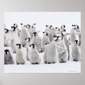 Group of Emperor penguins (Aptenodytes forsteri) Print