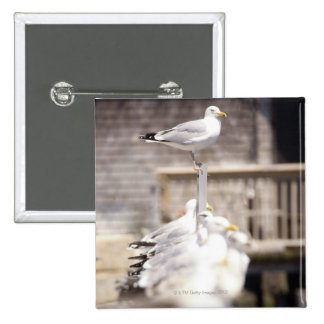 group of Herring Gulls (Larus argentatus) on a Pinback Button