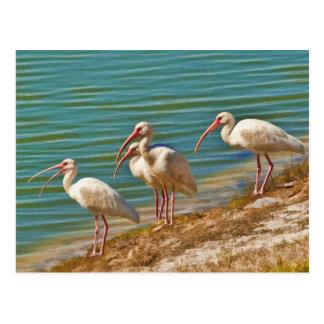 Group of Ibises Postcard