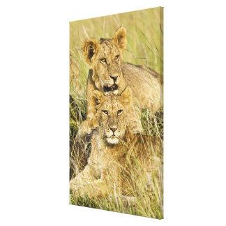 Group of lion cubs, Panthera leo, Masai Mara, Gallery Wrap Canvas