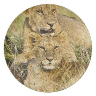 Group of lion cubs, Panthera leo, Masai Mara, Dinner Plate