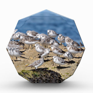 Group of Little stints at Quiberon in France Acrylic Award