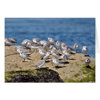 Group of Little stints at Quiberon in France Card
