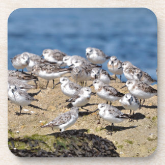 Group of Little stints at Quiberon in France Coaster