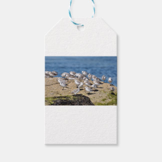 Group of Little stints at Quiberon in France Gift Tags