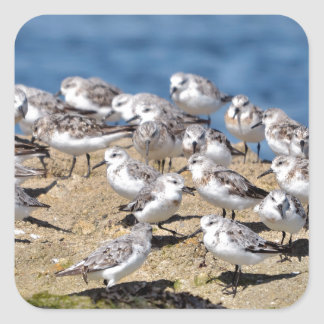 Group of Little stints at Quiberon in France Square Sticker