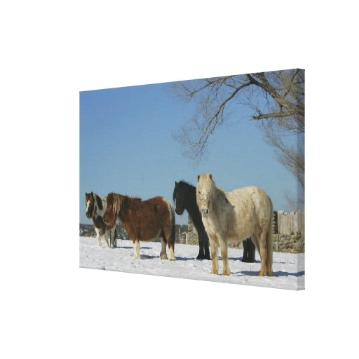 Group of Miniature Horses in the Snow Gallery Wrapped Canvas